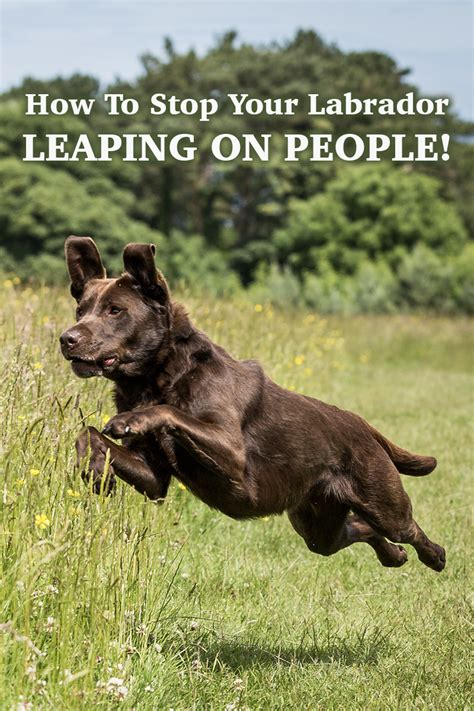 how to my labrador no more jumping up stop your labrador leaping on