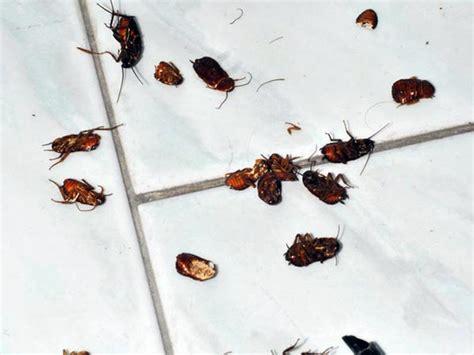 scarafaggi volanti in casa scarafaggi in casa come agire hton