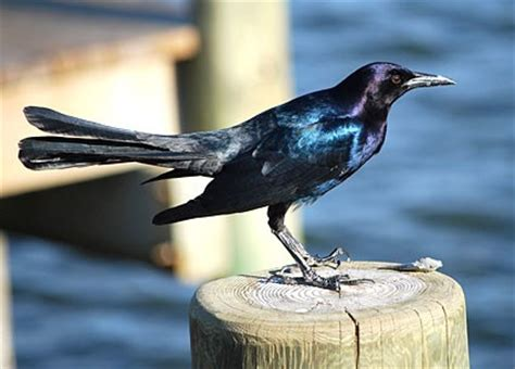 common grackle identification all about birds cornell