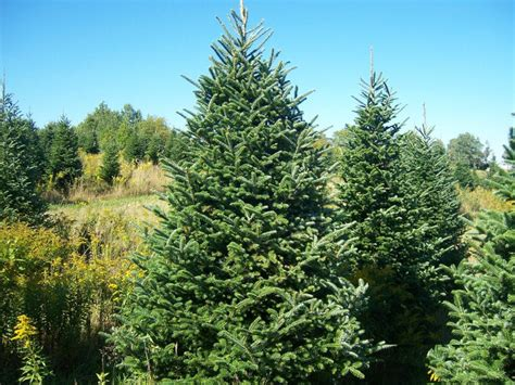 christmas trees yule tree farms