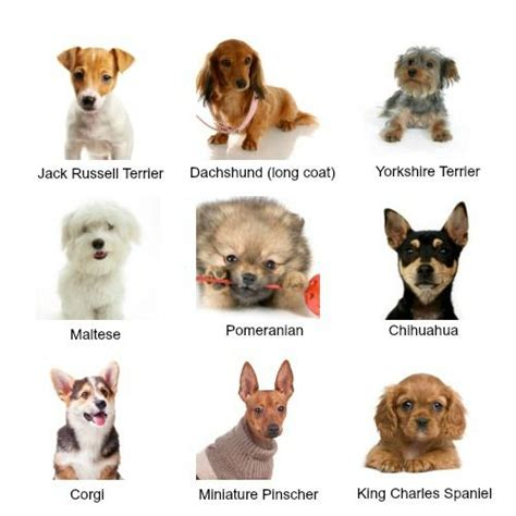 popular small breeds although they may all be guys small dogs come in a variety of shapes