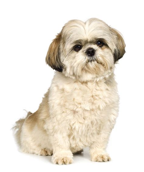 hair styles for shih tzu dogs shiba inu shih tzu mix facts and information my first