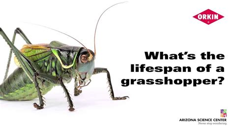 what s the lifespan of a grasshopper youtube