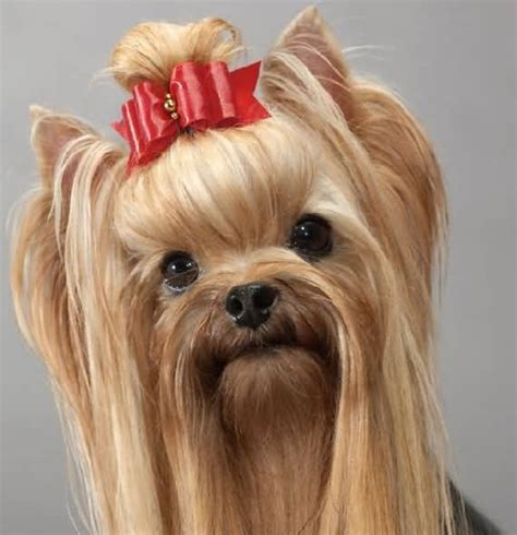 what is the best yorkie terrier shoo out there and condistioner 45 adorable yorkshire terrier dog images and pics