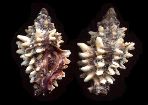 bollettino mare porto cesareo muricopsis cristata da porto cesareo forum natura