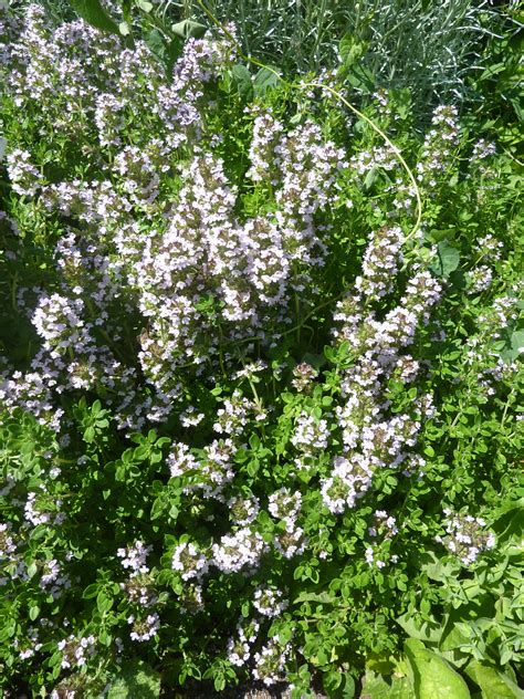 Garden Thyme by Lemon Thyme On Culinary Herb Lemon And Most
