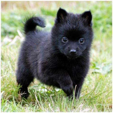 schipperke dogs schipperke puppies breeders pictures facts temperament personality animals adda