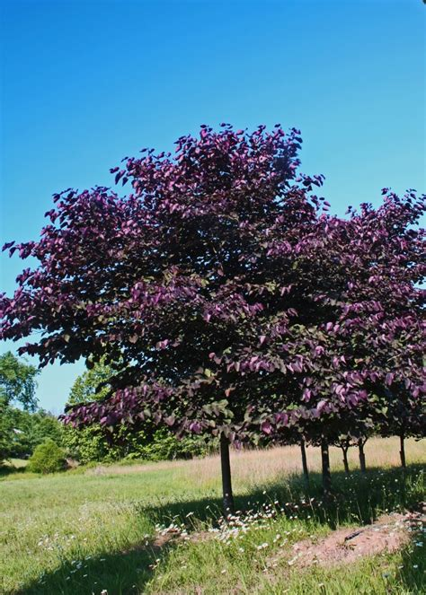 redbud tree trees we love redbud shade tree farm