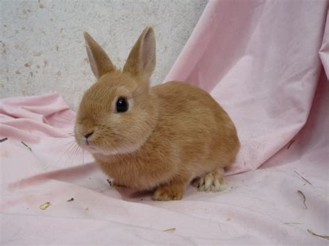 world s smallest breed smallest rabbit breed in the world