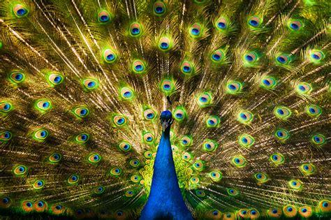 wallpaper merak biru hewan lucu 2016 hewan burung merak images