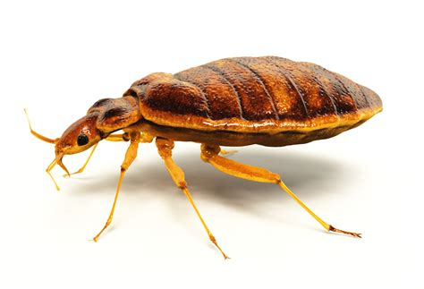 are bed bugs harmful preventing earwig invasions in your home family home