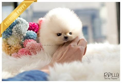 pomeranian boo price sold to kurt boo pomeranian f rolly teacup puppies