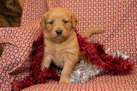 golden retriever puppies for sale saskatchewan beautiful golden retrievers craigspets