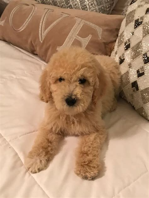 puppies for sale san antonio tx view ad goldendoodle puppy for sale san antonio usa