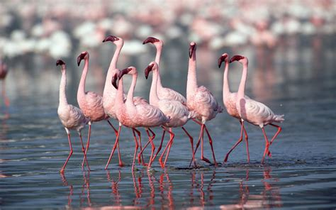 wallpaper flamingos wallpapers flamingo wallpapers