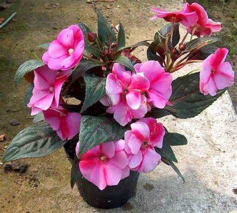 fiori di vetro coltivazione piante da vaso impatiens piante di vetro lisetta