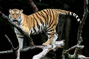new year animal tiger extinct caspian tiger to be brought back from the dead