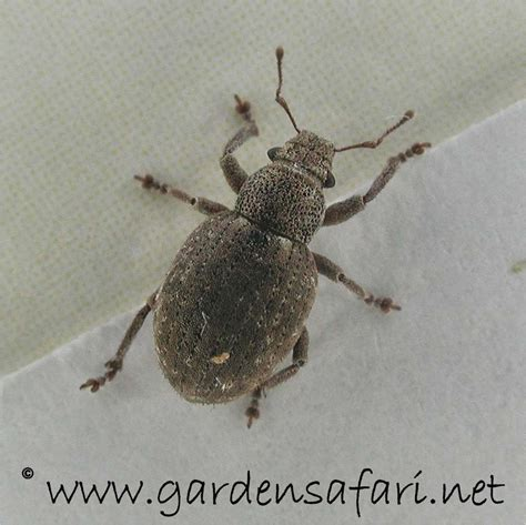 beetle garden pest identification related keywords suggestions for house bugs