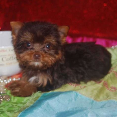 brown yorkie chocolate teacup yorkie puppies chocolate yorkie puppy for sale sassy teacup yorkies