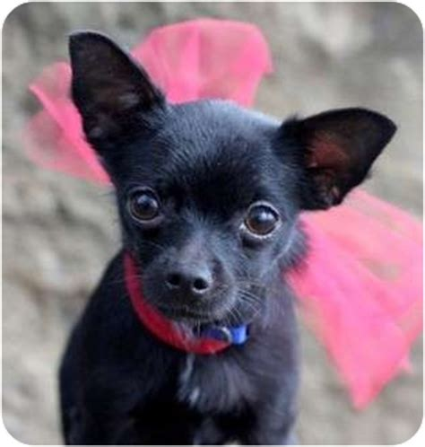 black yorkie chihuahua mix pet not found