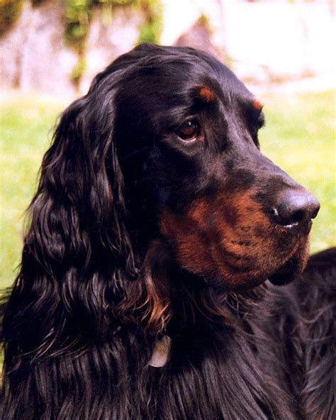 red setter dog names 1000 images about setters on pinterest pets irish
