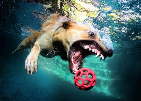 stunning dog photography  seth casteels underwater dogs