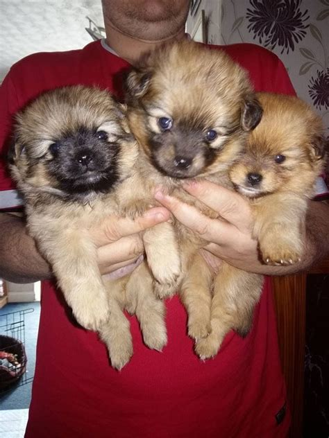 pomchi puppies for sale pomchi puppies for sale 3 boys 1 manchester greater manchester pets4homes