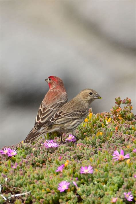 house finch nesting monterey wildlife photography recreation trail ocean