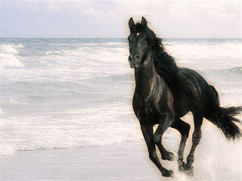 black mustang horse black mustang horse rearing