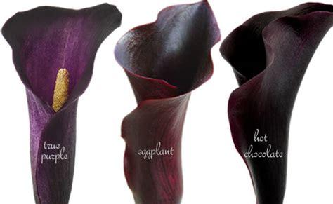 deep purple calla lilies dark brown hairs