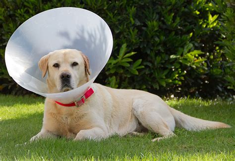 cone for dogs cone buster collars collars and comfy cones we help you choose