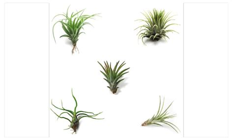 5 pack assorted tillandsia air plants easy care collection
