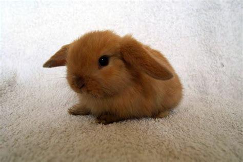 coniglio nano testa di prezzo coniglio ariete nano carattere e caratteristiche dei