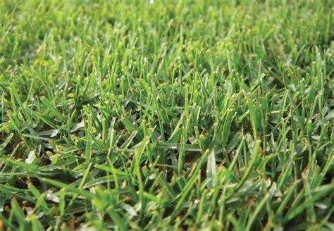 wintergreen couch grass wintergreen true blue turf