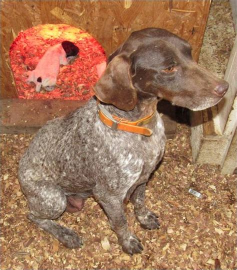 german shorthaired pointer puppies for sale in nc german shorthaired pointer puppies 03 13 2017 litter creek