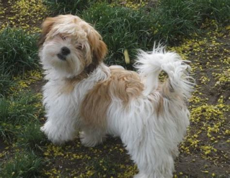 lifespan of havanese 10 best and popular small dogs that are with me and my pet
