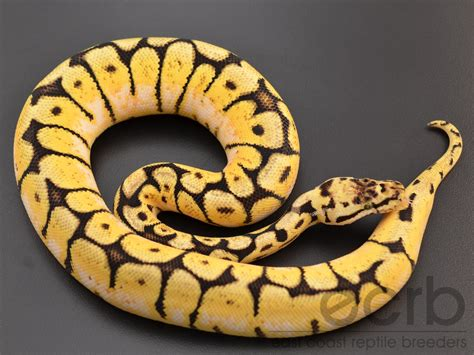 Yellow Belly bumblebee pied python
