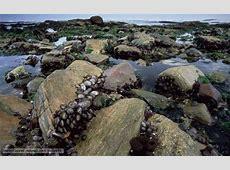Intertidal Zones | Marine Biomes: Intertidal Zones and ... Rocky Intertidal Zones