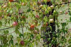 southern lagniappe balloon vines