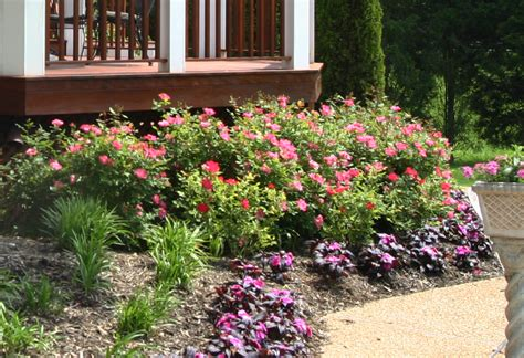 Landscape Pictures With Knockout Roses Planting Shrubs And Perennials For Cut Flowers