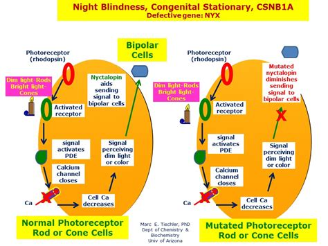 Is Night Blindness Hereditary Night Blindness Congenital Stationary Csnb1a