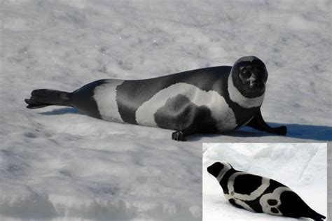 seal ribbon meet the rarely seen ribbon seal one of nature s great