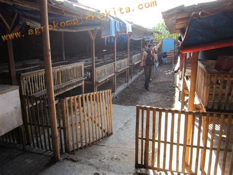 Beternak Ayam Kung Jowo Joper 50 Hari Panen img 9072 agrokompleks mmc