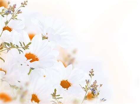 imagenes en blanco para fondo de pantalla fondos de pantalla matricaria en gran plano blanco flores