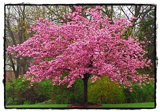 kwanzan cherry tree see the plant information index for more details at kieferlandscaping com