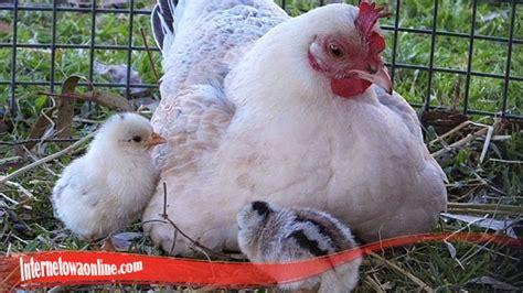 sifat ayam  perilaku ayam judi slot  uang asli
