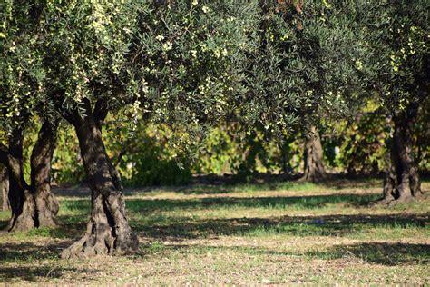 Olive Garden Woodland free images nature meadow mediterranean autumn