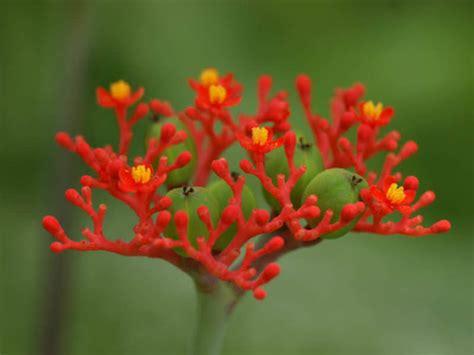 jatropha podagrica buddha belly bottleplant shrub