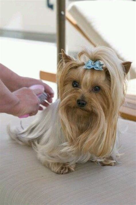 yorkie haircuts for a silky coat 17 best images about i love my yorkie on pinterest merry