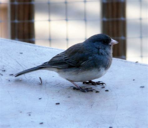 winter birds in new jersey junco titmouse and blue jay